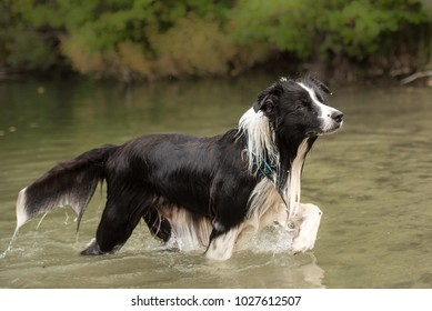 dog runs in the low water in the lake - border collie