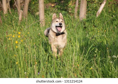 The dog runs on the green grass. Happy dog walks in nature in summer. Dog shows language. Dog breed Laika.