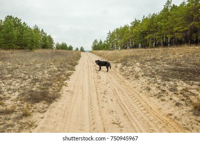 Dog runs on the road in the woods