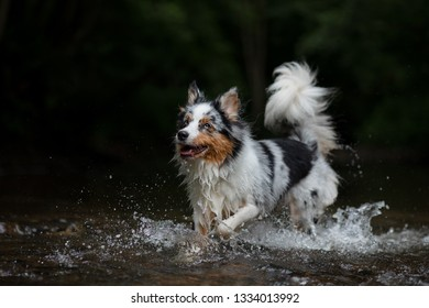 the dog runs on water, shakes off. Happy pet. active Australian Shepherd