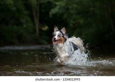 the dog runs on water, shakes off. Happy pet. active Australian Shepherd