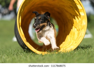 Dog runs through an agility tunnel - Jack Russell Terrier