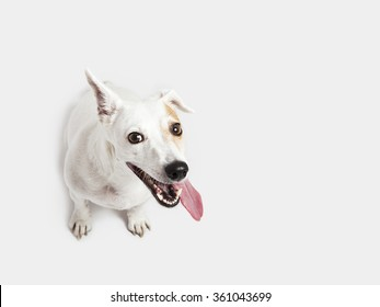 The dog russel terrier sitting on the white background, begging
