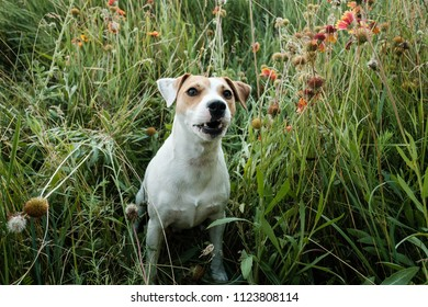 dog russell terrier playing and barks in green grass