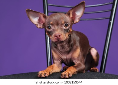 Dog Russian Toy Terrier, on a purple background