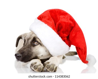 dog in a Santa Claus hat. isolated on white background