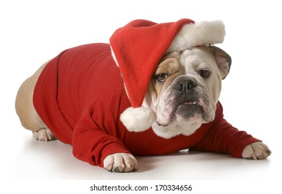 dog santa - english bulldog wearing santa hat laying down isolated on white background - 2 year old male