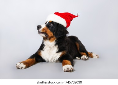 A dog in a Santa hat. Beautiful puppy Bernese shepherd on grey background. New year. The dog lies on the floor and looks aside