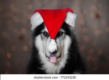 a dog with santa hat on a head
