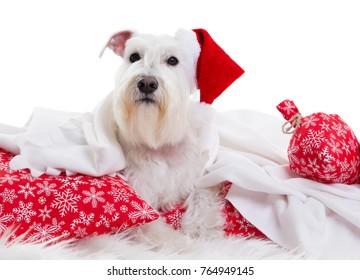 dog santa  on a white background in studio isolate.
