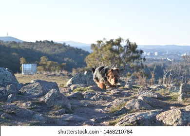 Dog and scenic view of Canberra. Includes Black Mountain, Telstra Tower, and Parliament House. Australian terrier. Taken on Red Hill, Canberra.