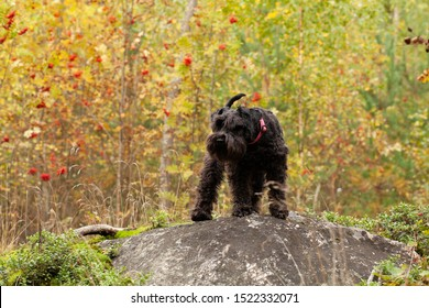 Dog Schnauzer in autumn forest hunting