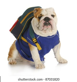 dog school - english bulldog wearing blue shirt and backpack ready for school on white background
