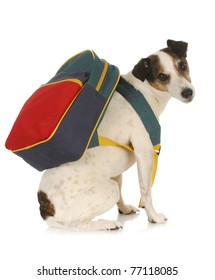 dog school - jack russel terrier wearing backpack on white background