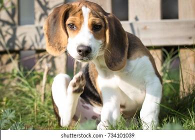 Dog scratches himself (13 weeks)