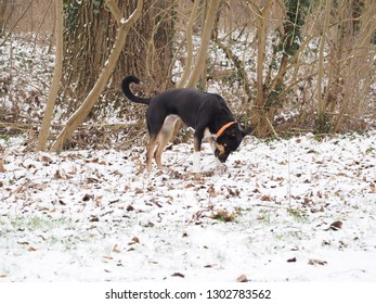 Dog searching in snow