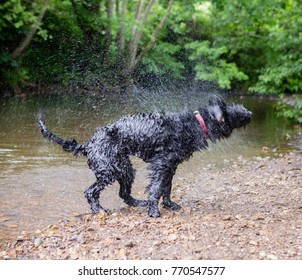 A dog shaking after being in the water for a swim. Standing on pebbles at the side of the river.