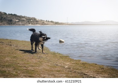 Dog shaking after swimming in lake at summer