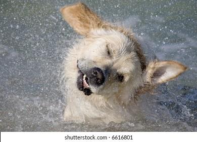 Dog shaking head