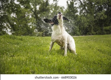 Dog shaking off water after jumping in water