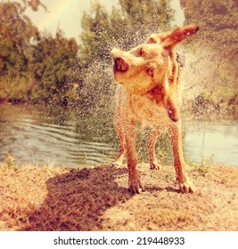 a dog shaking off water by a river on a warm summer day toned with a warm vintage instagram filter