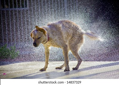Dog shaking off water, droplets of water clearly visible with sunlight highlighting droplets