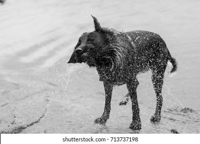 Dog shaking water off after a swim in the lake