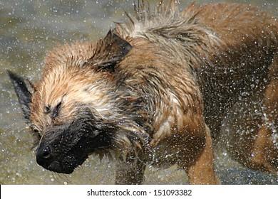 Dog Shaking Water off itself