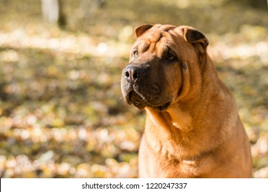 The dog Shar Pei walks in the park in autumn