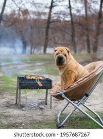 the dog sharpey is sitting on a chair in nature, next to the barbecue, looking at the camera. portrait of dogs close-up, red happy dog with owners.