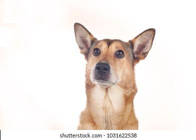 dog sheepdog female, portrait on white background