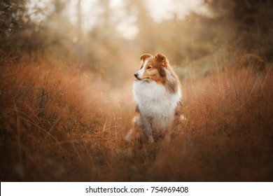 dog shelti on nature in the forest. small the pet to walk