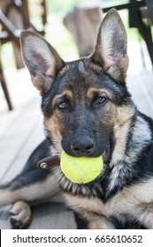 Dog (Shepard) with a Tennis Ball