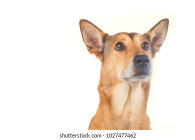 dog shepherd on white background portrait in front of white table.