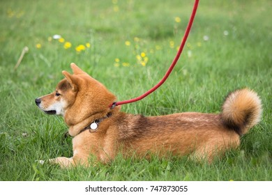 dog shiba inu lying in the grass with an exercise not moving