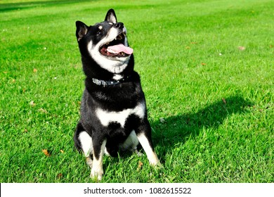 Dog Shiba Inu in the park