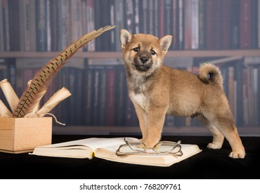 dog Shiba Inu reading books