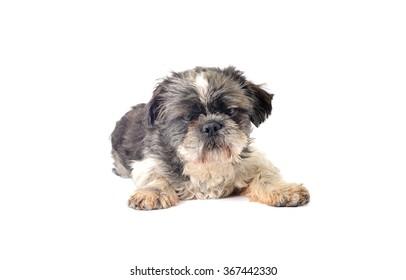 Dog Shitsu pooped out isolated on white background