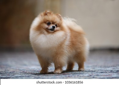 Dog show champion Pomeranian portrait dog