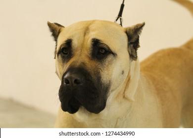 Dog show - Perro de Presa Canario portrait