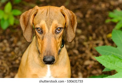 Dog shy guilty is a beautiful shelter hound dog looking up with an intense stare outdoors in nature