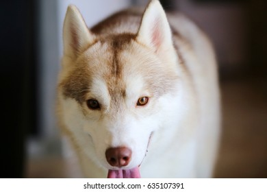 Dog, Siberian Husky