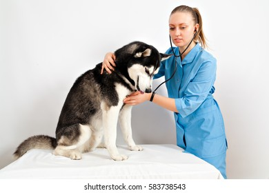 Dog Siberian Husky examination by a veterinary doctor
