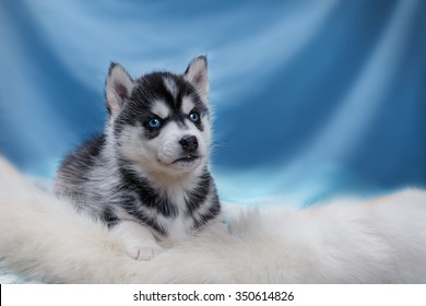 Dog Siberian Husky, puppy portrait on a studio background