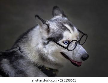 Dog Siberian wear glasses.