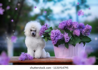 The dog sits with a basket of lilac flowers. Beautiful puppy white toy poodle dog outdoors.
