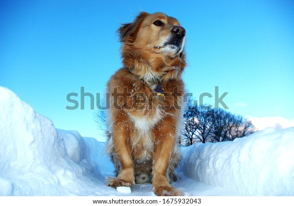 Dog sits in deep snow and is happy