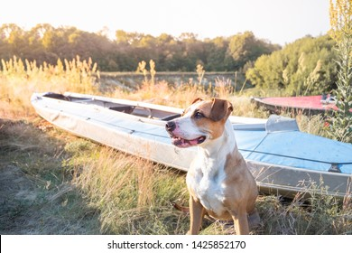 A dog sits in front of canoe boats in beautiful evening light. Active rest with domestic pets concept: american staffordshire terrier at a kayaking river trip