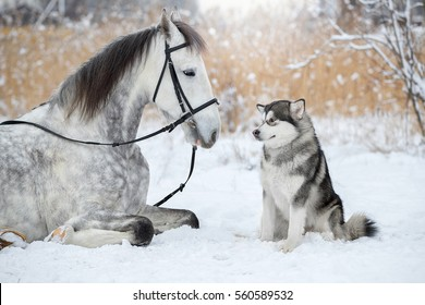 The dog sits next to the horse. Alaskan Malamute with Orlovsky Trotter.