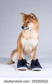 Dog sits on white-gray background wearing shoes